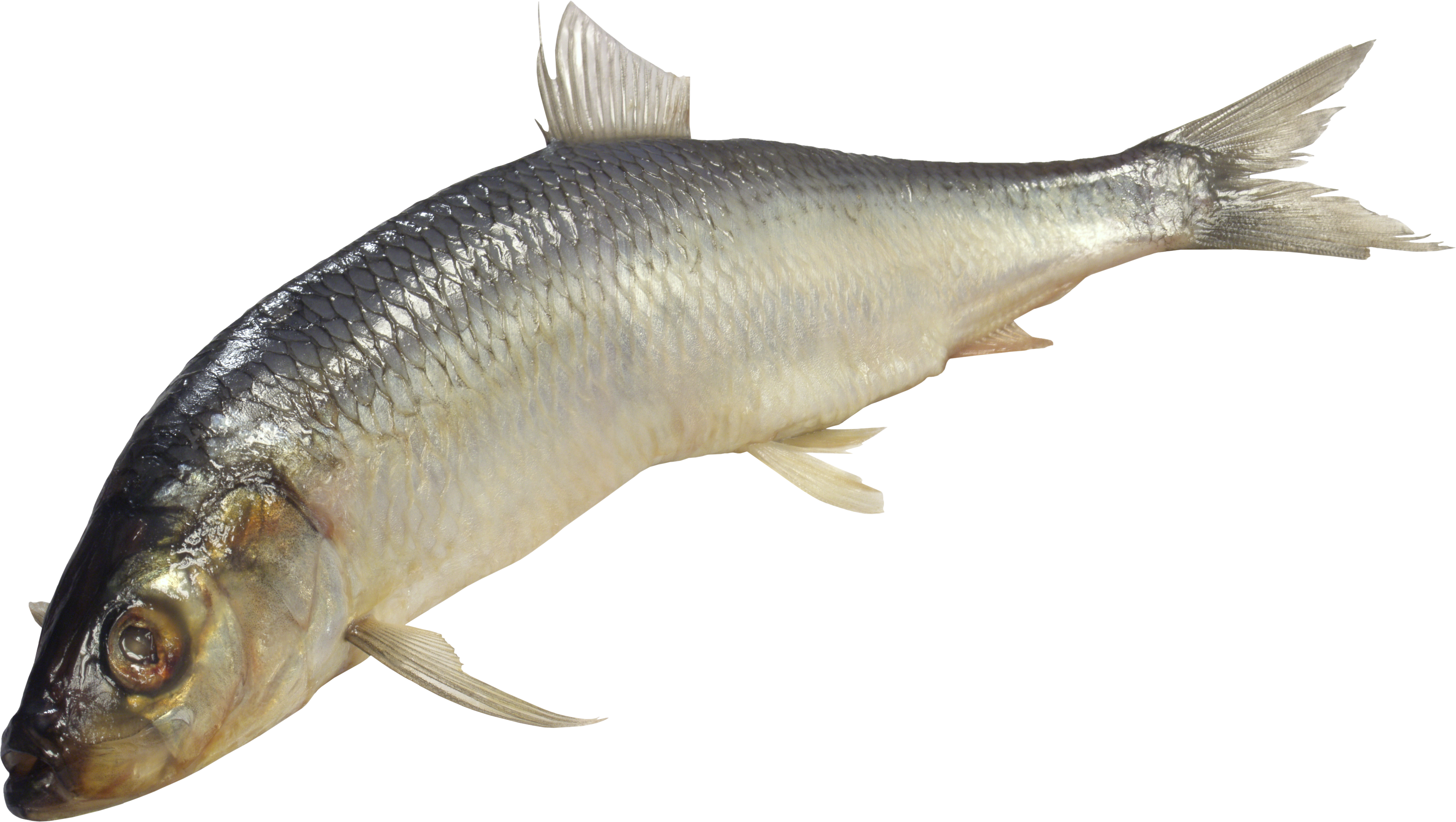 Download for free Fish PNG Picture