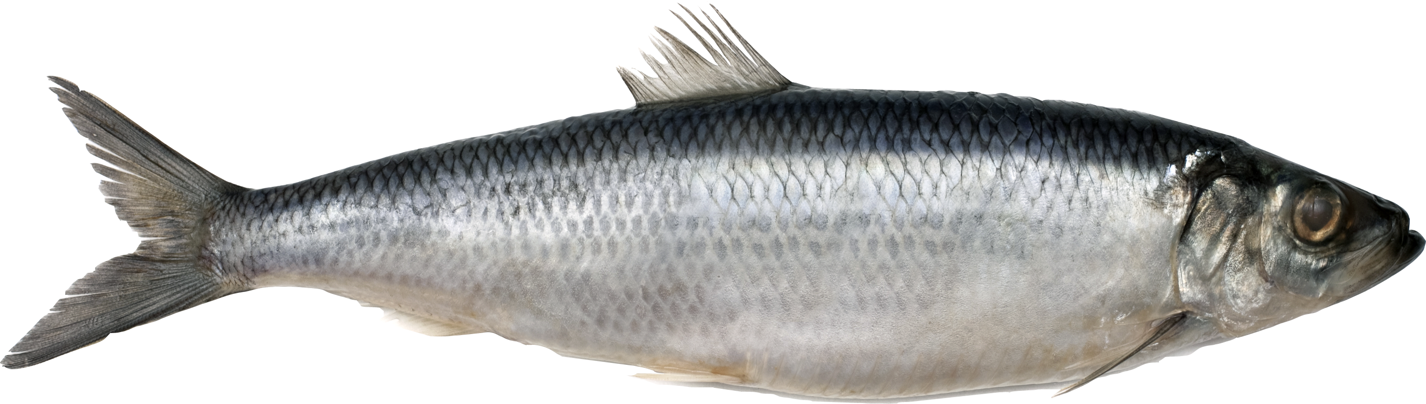 Download for free Fish Transparent PNG File