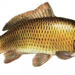 Free download of Fish PNG in High Resolution