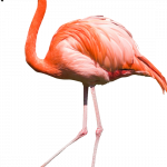 Free download of Flamingo PNG Picture