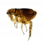 Grab and download Flea PNG Picture