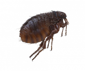 Download for free Flea PNG