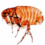 Download for free Flea PNG Icon