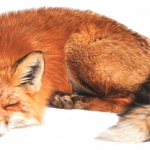 Best free Fox PNG in High Resolution