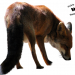 Download and use Fox PNG in High Resolution