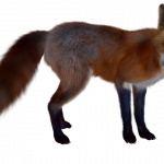 Free download of Fox PNG Image Without Background