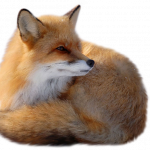 Best free Fox High Quality PNG