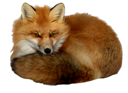 Now you can download Fox PNG Image