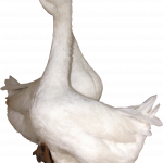Free download of Goose  PNG Clipart
