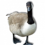Download this high resolution Goose PNG Icon