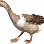 Download for free Goose High Quality PNG