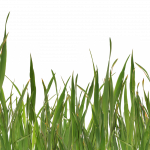 Free download of Grass PNG Image Without Background