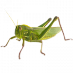 Free download of Grasshopper  PNG Clipart