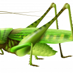 Download for free Grasshopper PNG Image Without Background