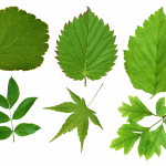 Download for free Green Leaves  PNG Clipart