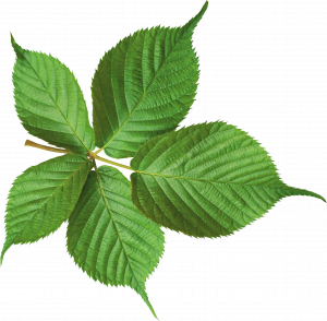 Now you can download Green Leaves Transparent PNG Image
