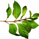Now you can download Green Leaves PNG Picture