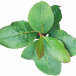 Grab and download Green Leaves PNG in High Resolution