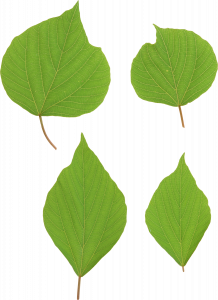 Download and use Green Leaves PNG Image