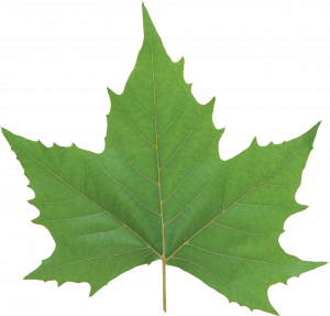 Now you can download Green Leaves PNG in High Resolution