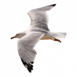 Now you can download Gull PNG Icon