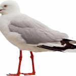 Grab and download Gull In PNG