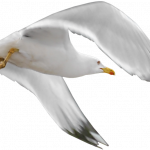Download this high resolution Gull PNG Image