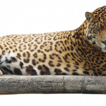 Download this high resolution Jaguar Icon Clipart