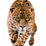 Download and use Leopard PNG in High Resolution