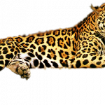 Now you can download Leopard PNG Picture