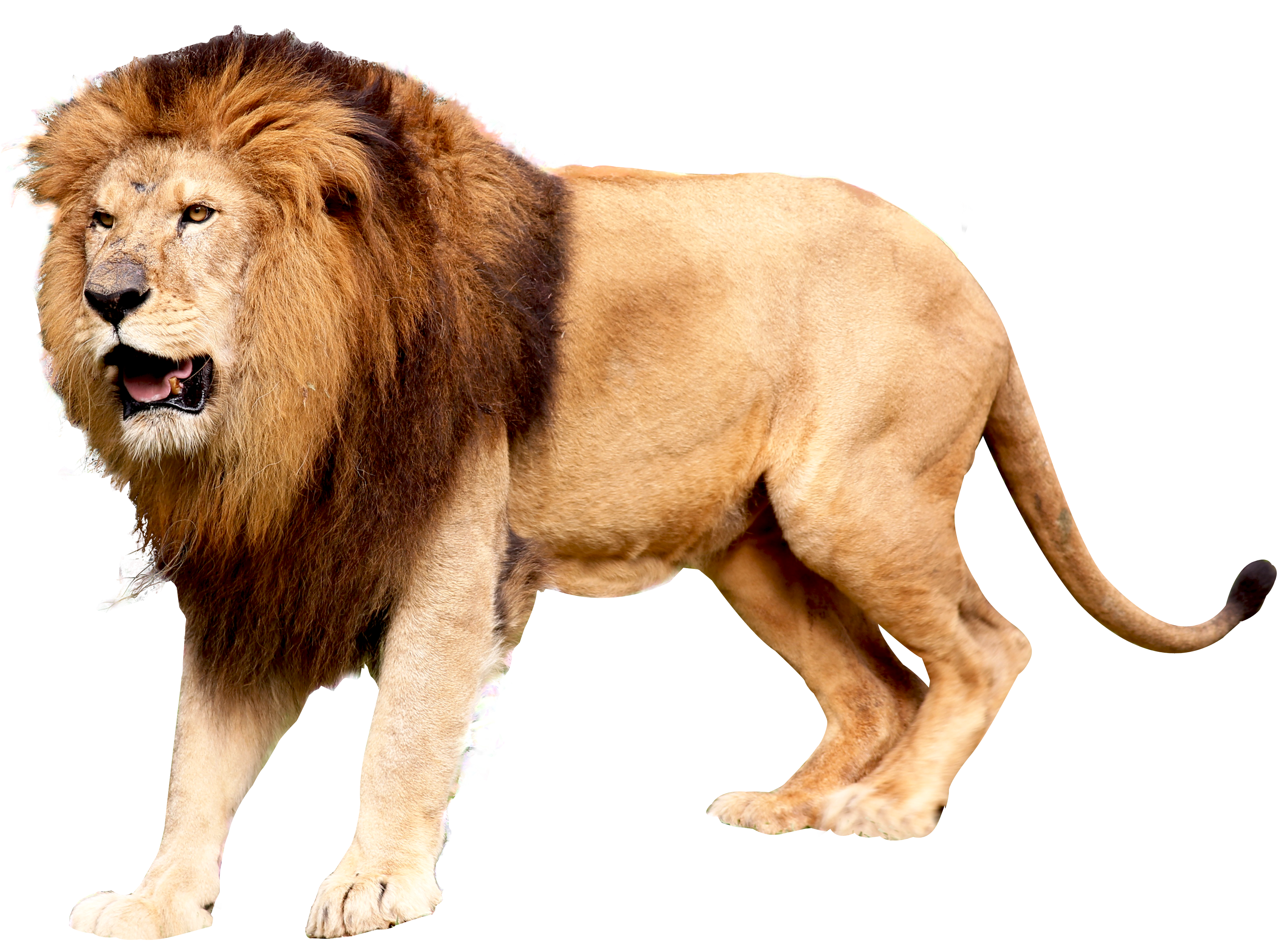 lion png picture web icons png