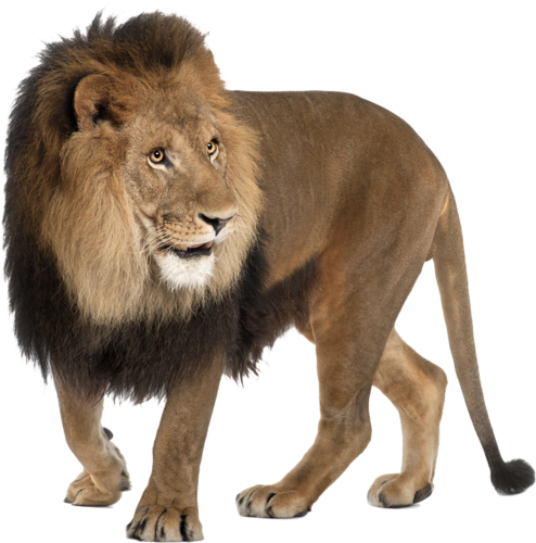 Lion Png Icon Web Icons Png