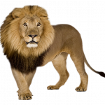 Now you can download Lion In PNG