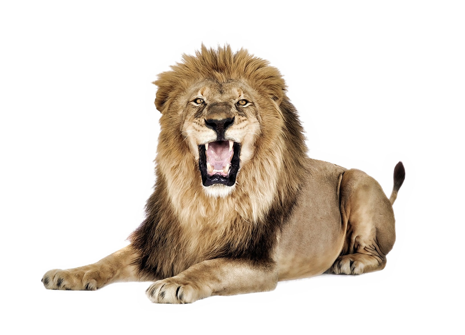 Grab and download Lion PNG Image Without Background