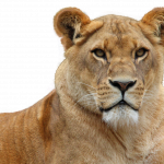 Grab and download Lion  PNG Clipart