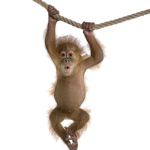 Download and use Monkey  PNG Clipart