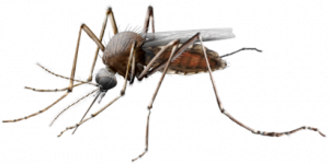 Now you can download Mosquito  PNG Clipart