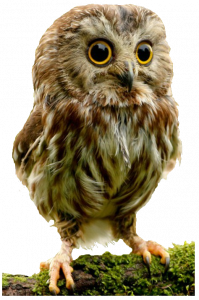 Best free Owls PNG Picture