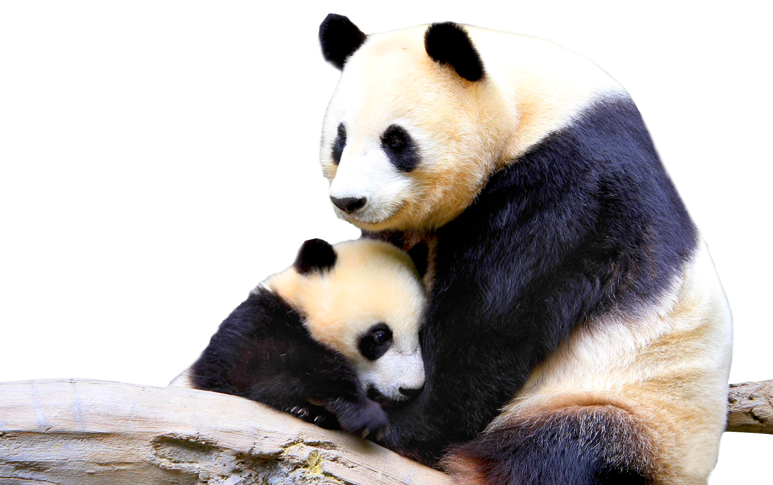 Download and use Panda PNG Picture