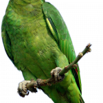 Download and use Parrot Icon PNG