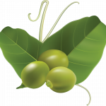Download and use Pea  PNG Clipart