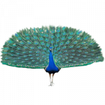 Download and use Peacock Icon