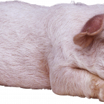 Download this high resolution Pig PNG Image Without Background