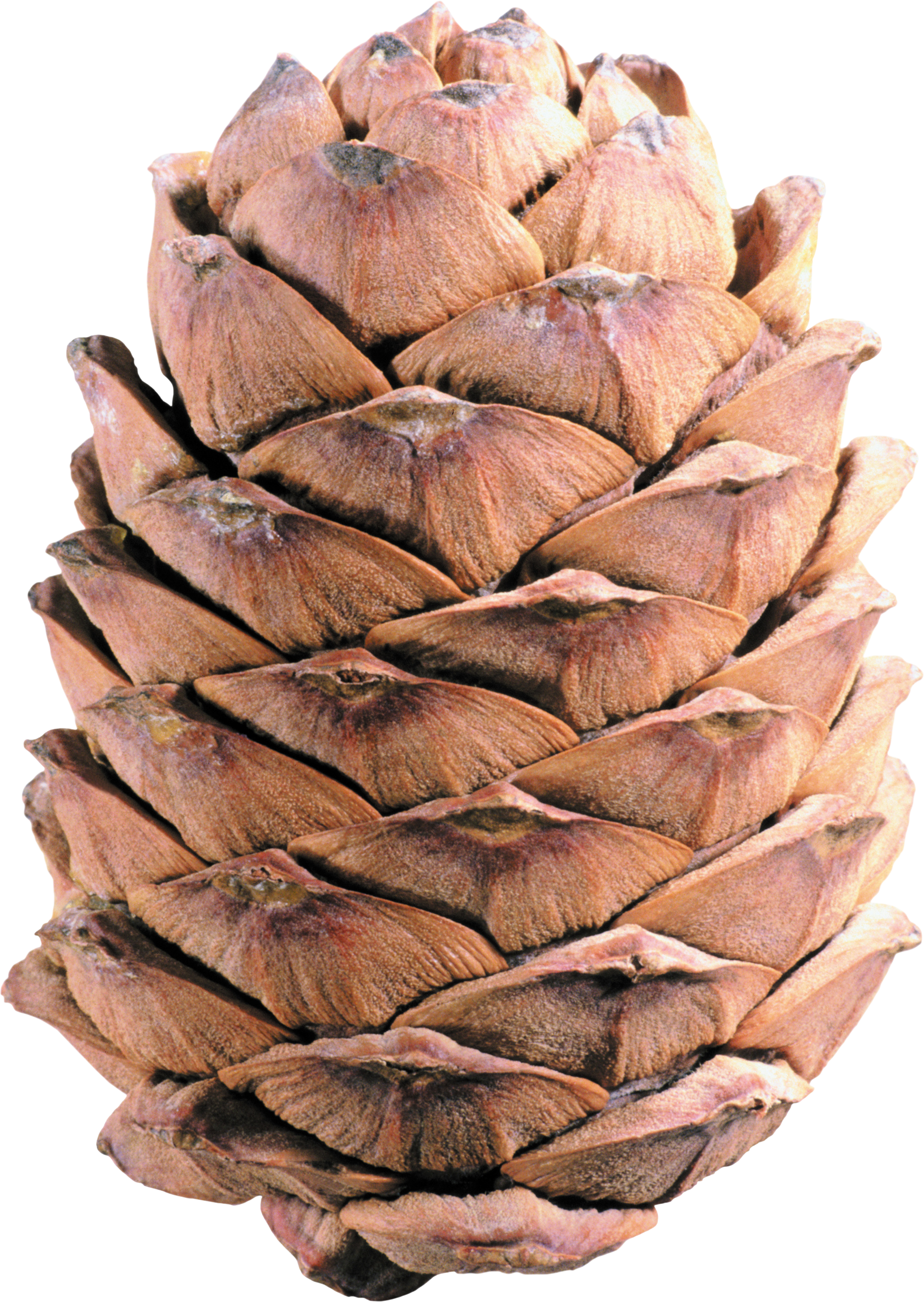 Download and use Pine Cone PNG Image Without Background
