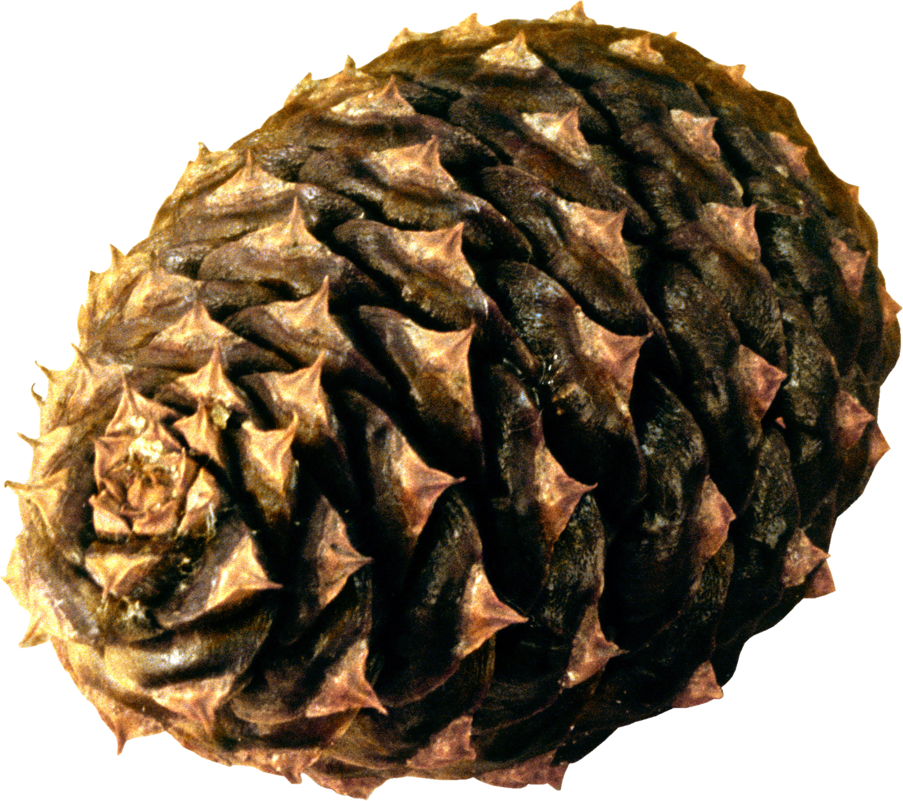 Download and use Pine Cone PNG Picture