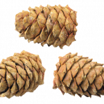 Free download of Pine Cone Icon PNG