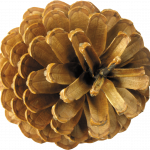 Free download of Pine Cone Transparent PNG File