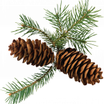 Now you can download Pine Cone  PNG Clipart