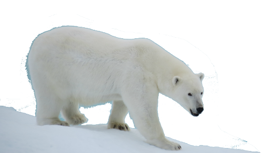 Download and use Polar Bear Icon