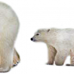Download and use Polar Bear PNG Picture
